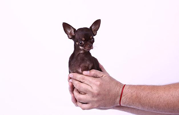 cão mais pequeno do mundomiracle milly chihuahua